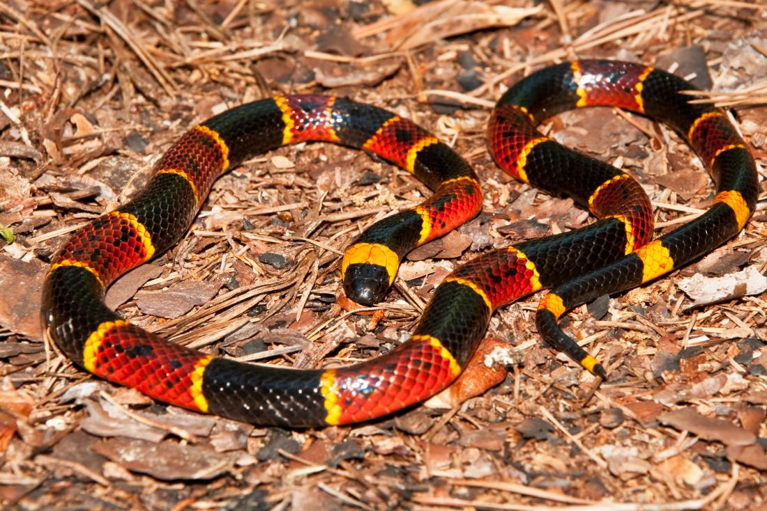 Coral snake<!--mce:protected %0A-->